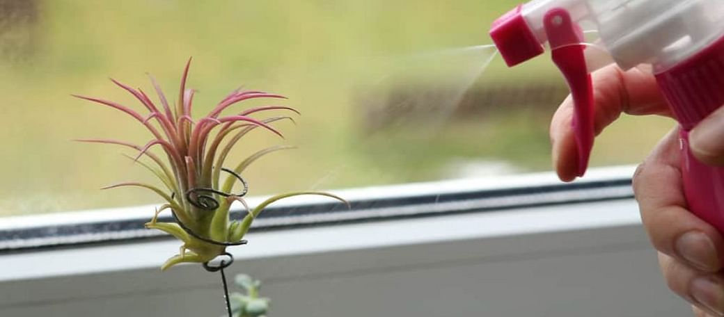 Complete Guide To Watering Air Plants 2020 Tips Tricks